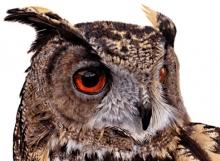 eagle_owl_banner